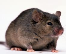 Picture of a mouse