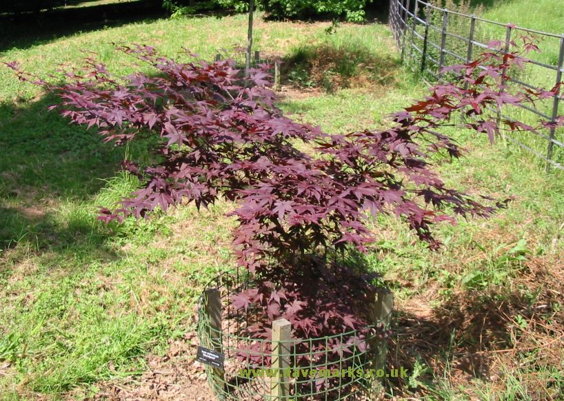 japanese maple bloodgood. Picture of Japanese Maple acer