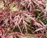 Acer palmatum dissectum Ever Red. Click picture to enlarge.