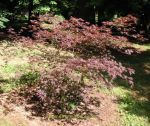 Acer palmatum Inazuma. Click picture to enlarge.