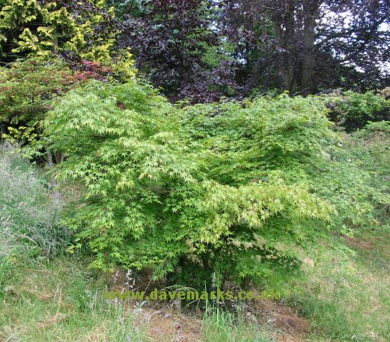 Japanese Maple Tree Care And Selection 20 Pictures