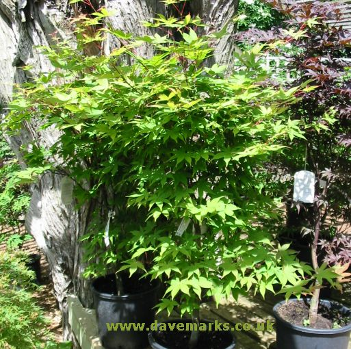 dwarf japanese maple tree pictures. This Japanese Maple makes