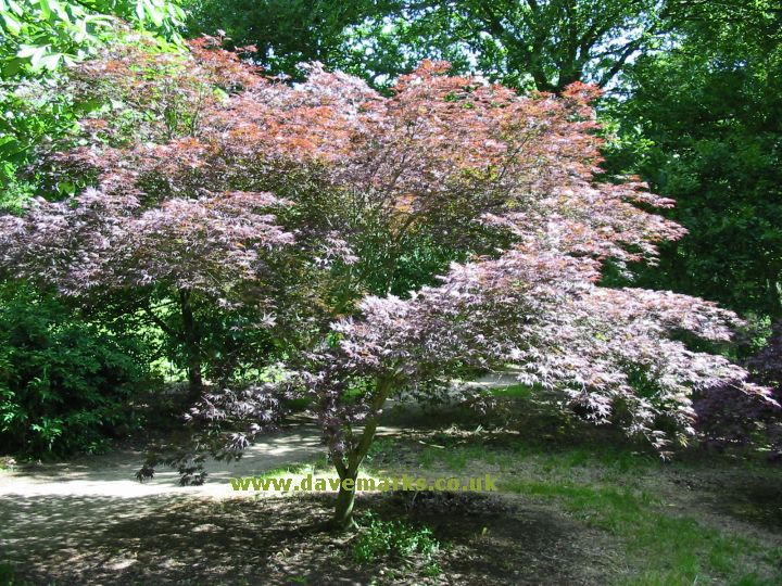 Japanese Maple Tree Picture Gallery