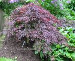 Japanese Maple acer palmatum inaba shidare. Click to enlarge