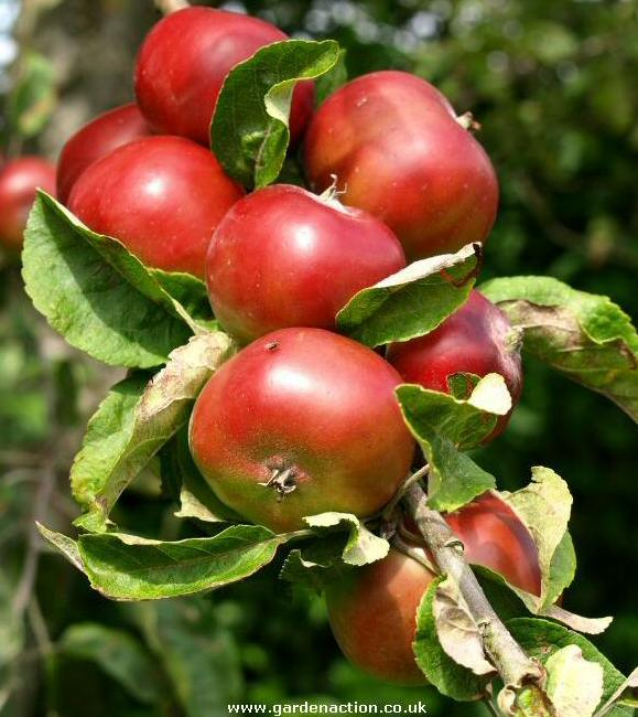 Picture of apple variety Devonshire Quarrenden