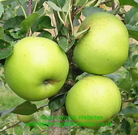 Picture of apple variety Greensleeves
