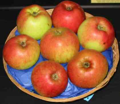 The Cooking Apple variety Monarch - picture and description