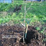 Plant an apple tree