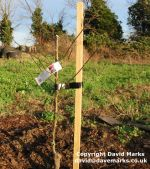 How to stake and tie an apple tree