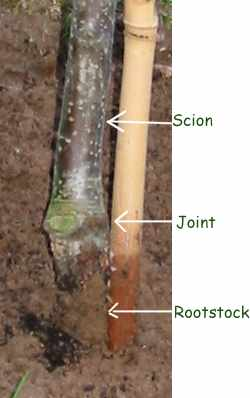 http://www.gardenaction.co.uk/images/apple_rootstock_scion_join_mine.jpg