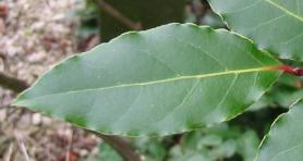 Bay Laurel leaf. Click picture to enlarge. Copyright David Marks