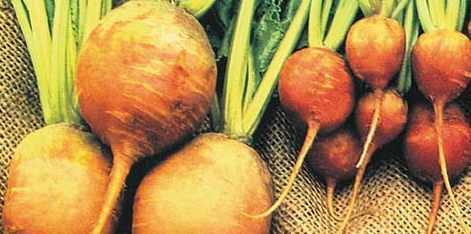 How To Grow Beetroot With Lots Of Pictures Page 1