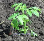 Tomato plant. Click to enlarge.