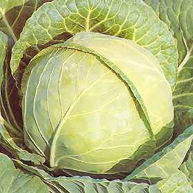 Picture of Primo spring cabbage