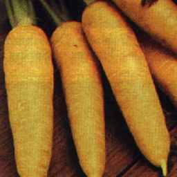 Picture of carrot variety Yellowstone