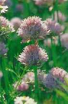 Picture of Chives Herb in the UK