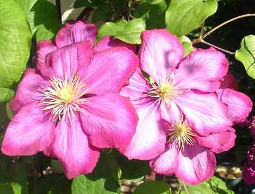 Picture of Clematis 'Ville de Lyon'