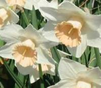 Daffodil 'passionale' - another Easter flower.