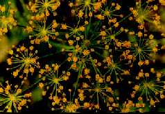 Dill herb with flower heads
