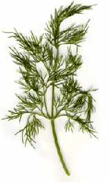 Dill herb picture