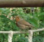 Robin in the humid tropics biome
