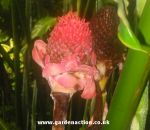 Torch ginger or wax flower