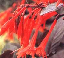picture of fuchsia thalia