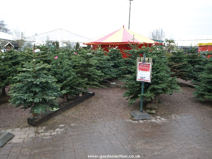 christmas trees at bridgemere - Real Christmas Tree Prices