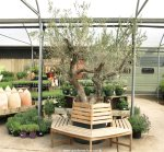 Fully grown olive tree for sale in the UK