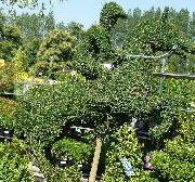 Topiary at Longacres Garden Centre
