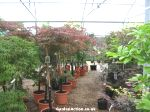 Good range of acers
