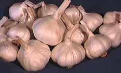 garlic picture - fresh or wet garlic is the cook's ideal