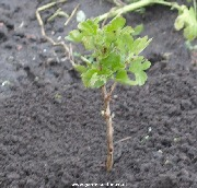 Planted gooseberry cutting