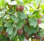 Gooseberry variety Hinnomaki Red