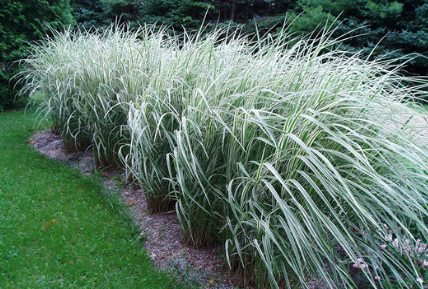 Gardening with grasses for Tall border grass