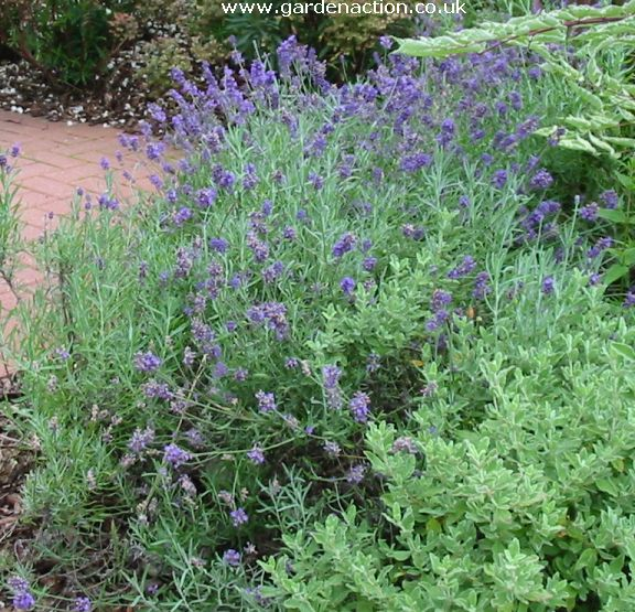 Lavender Blue Scent