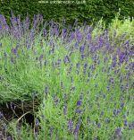 Lavender Hidcote picture