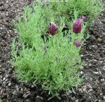Picture of lavender Kew Red