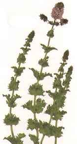 picture of mint variety