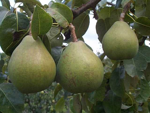 VARIETY OF PEAR TREE