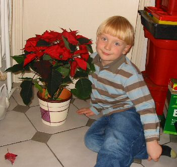 Christmas Plant, the poinsettia. Copyright David Marks. Click picture to enlarge.