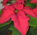 Poinsettia  - click to enlarge