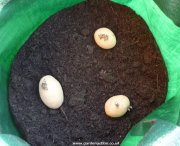 Seed potatoes in container