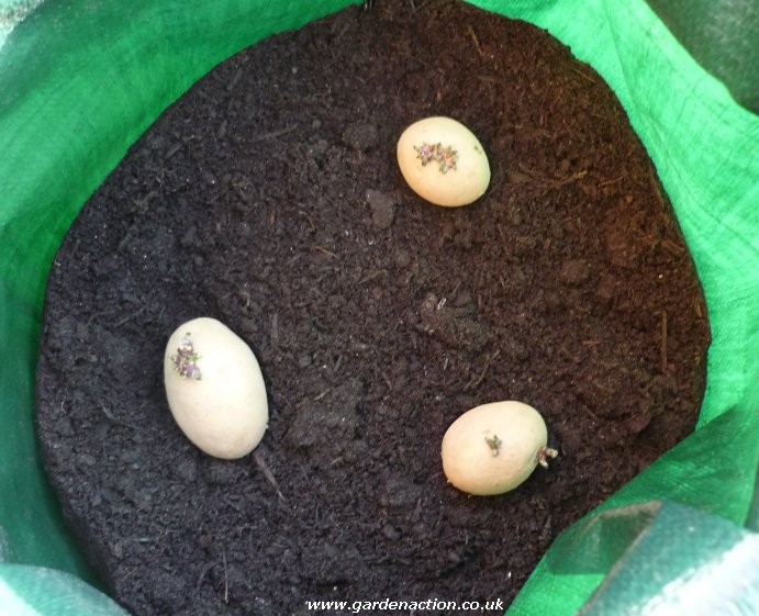 Potato Plants in Containers Seed Potatoes in Container
