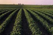 Picture of growing potatoes, how to grow potato