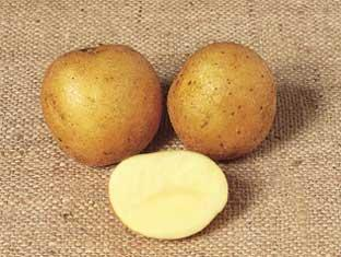 Maris Piper potato picture