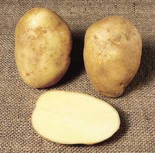 ���� ����� ����� ������ (����� �����) potato_wilja.jpg