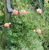 Picture of Alchymist rose bush