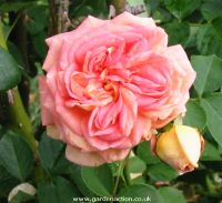 Flower picture of climbing rose Alchymist