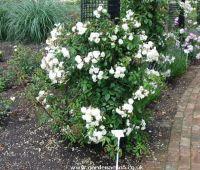 Picture of rose bush Bennett's Seedling